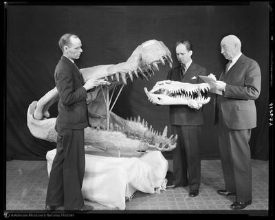 Photo provided by American Museum of Natural History, Deinosuchus