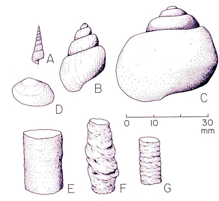 Photo provided by Gastropods, bivalves, and crustacean burrows from Lehman, 2010